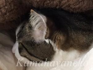 カバーの下の猫1