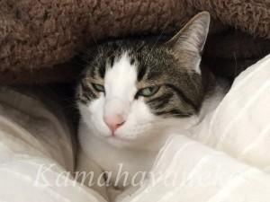 カバーの下の猫2