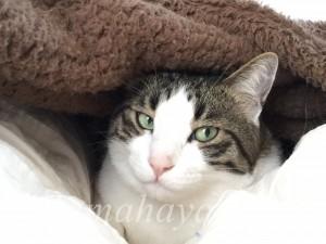 カバーの下の猫3