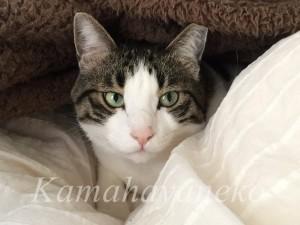 カバーの下の猫4