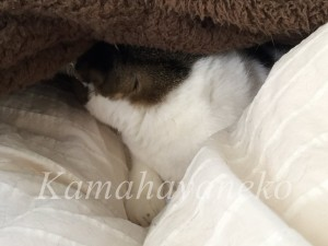 カバーの下の猫5
