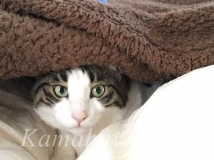 カバーの下の猫6