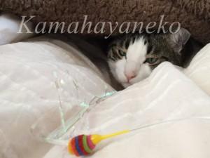 カバーの下の猫7