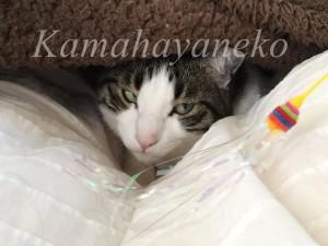 カバーの下の猫8