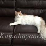 ソファの猫1