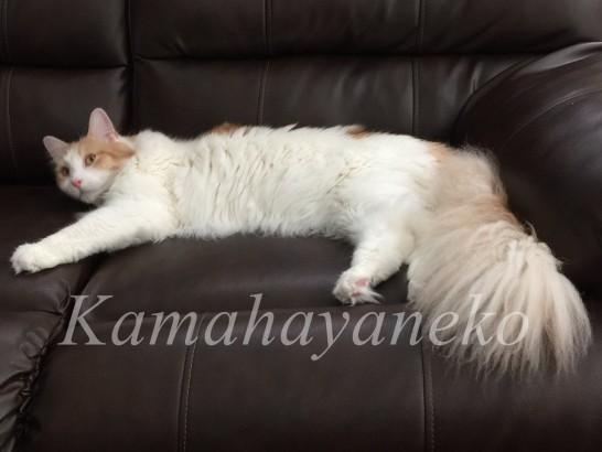 ソファの猫7