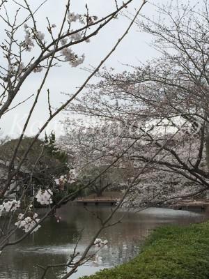 源氏池の桜1