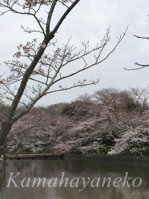 源氏池の桜3