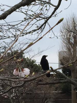 源氏池の桜4
