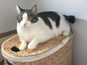 ランドリーバスケット猫4