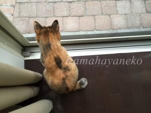 外を見る猫1