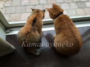 外を見る猫10