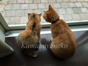 外を見る猫11