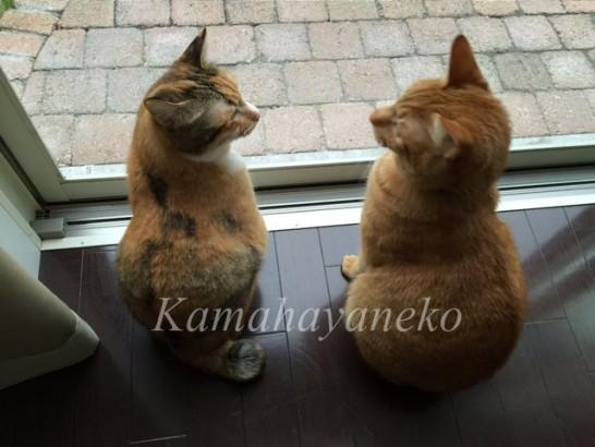 外を見る猫12