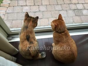 外を見る猫4