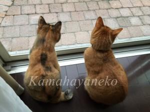 外を見る猫6