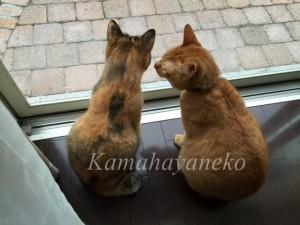 外を見る猫7