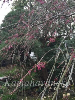 大仏邸枝垂桜