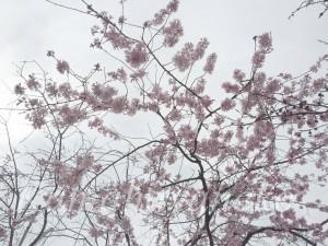大仏邸桜1