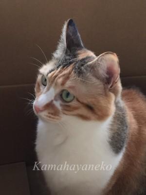 段ボール猫1