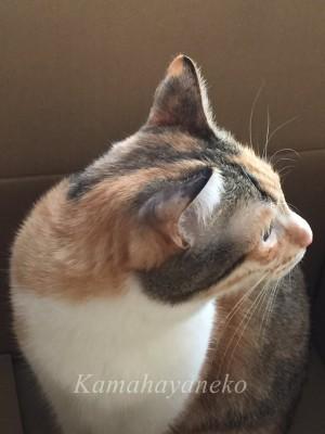 段ボール猫2