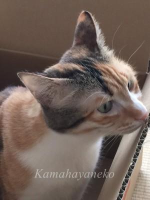 段ボール猫4