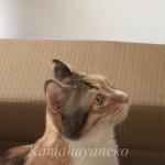 段ボール猫7