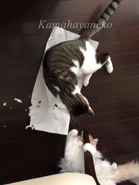 猫わきゃわきゃ9