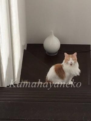 階段の猫3