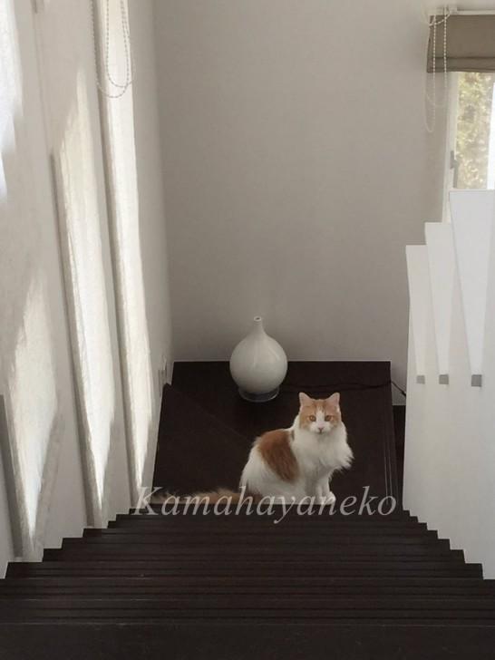 階段の猫6
