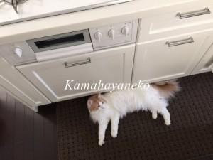 キッチン猫4
