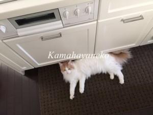キッチン猫5