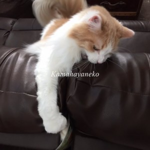 ソファ猫6