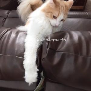 ソファ猫7