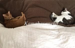一緒に寝る猫2