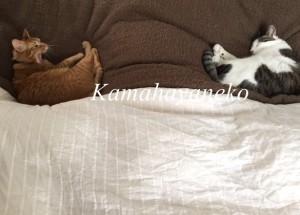 一緒に寝る猫3