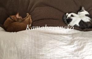一緒に寝る猫4