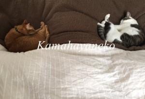一緒に寝る猫5