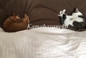 一緒に寝る猫6