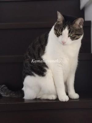 階段猫ハル3