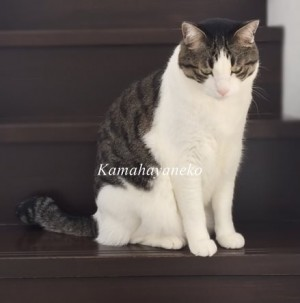 階段猫ハル5
