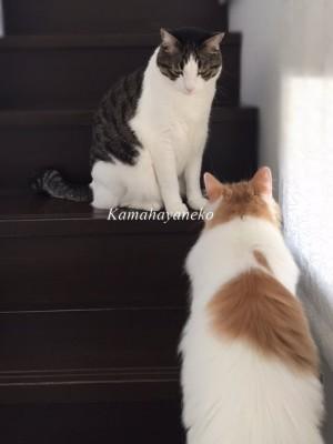 階段猫ハル6