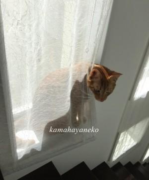 カーテン猫1