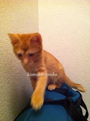 子猫グブ1