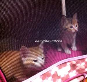 子猫メイスリー2