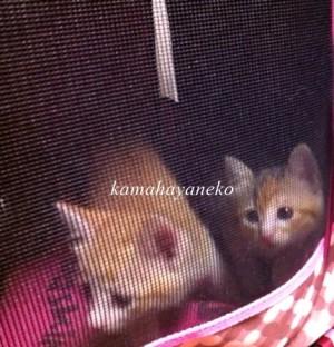 子猫メイスリー3