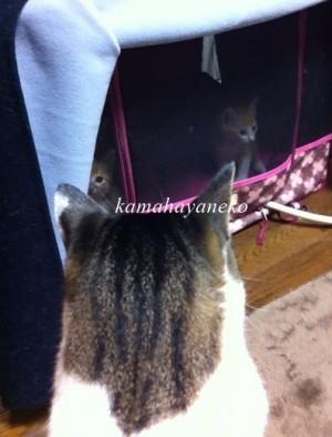 子猫メイスリー4