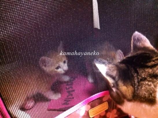 子猫メイスリー4.5