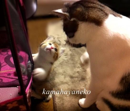 子猫メイスリー5.5
