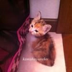 子猫メイ1